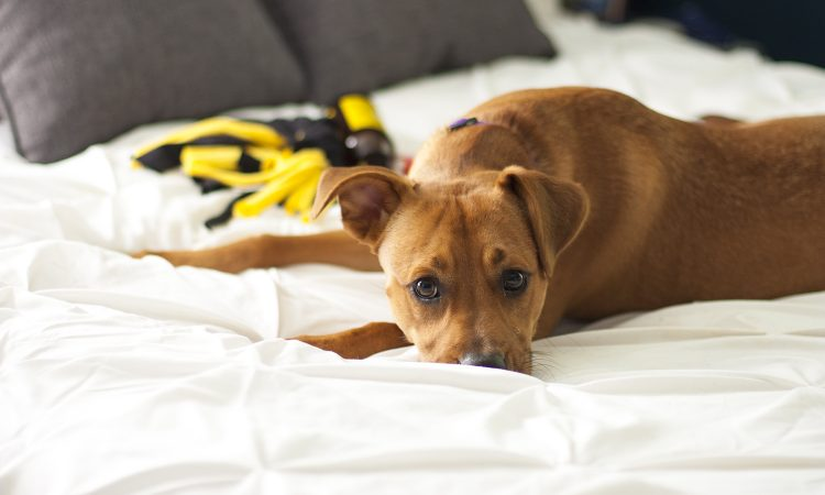 Puppy-proofing your house and keeping it clean is no easy feat with a little furry guy running around. These are some simple yet helpful tips for living with a puppy.
