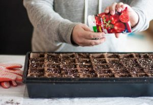 planting-tomato-seeds-in-starter-tray